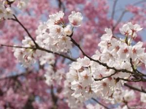 Bellas ramas de arboles llenas de flores de color blanco y rosado