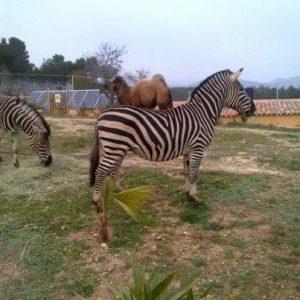 zebres-mas-del-maco