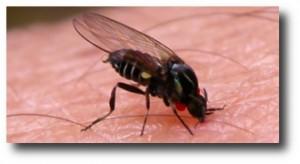 Picadura-de-mosca-negra